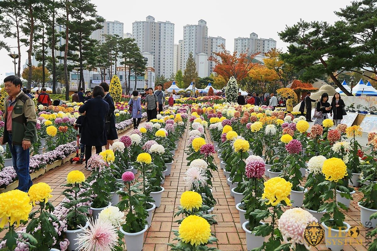 Chrysanthemums festival, Yangsan, South Korea