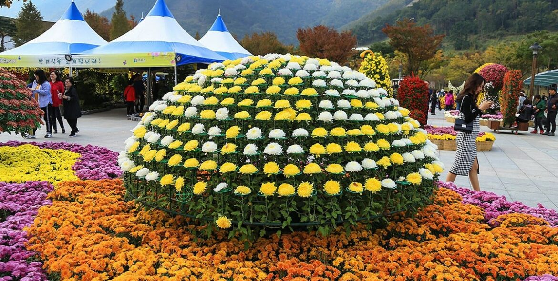 Chrysanthemums Festival in Yangsan City, South Korea