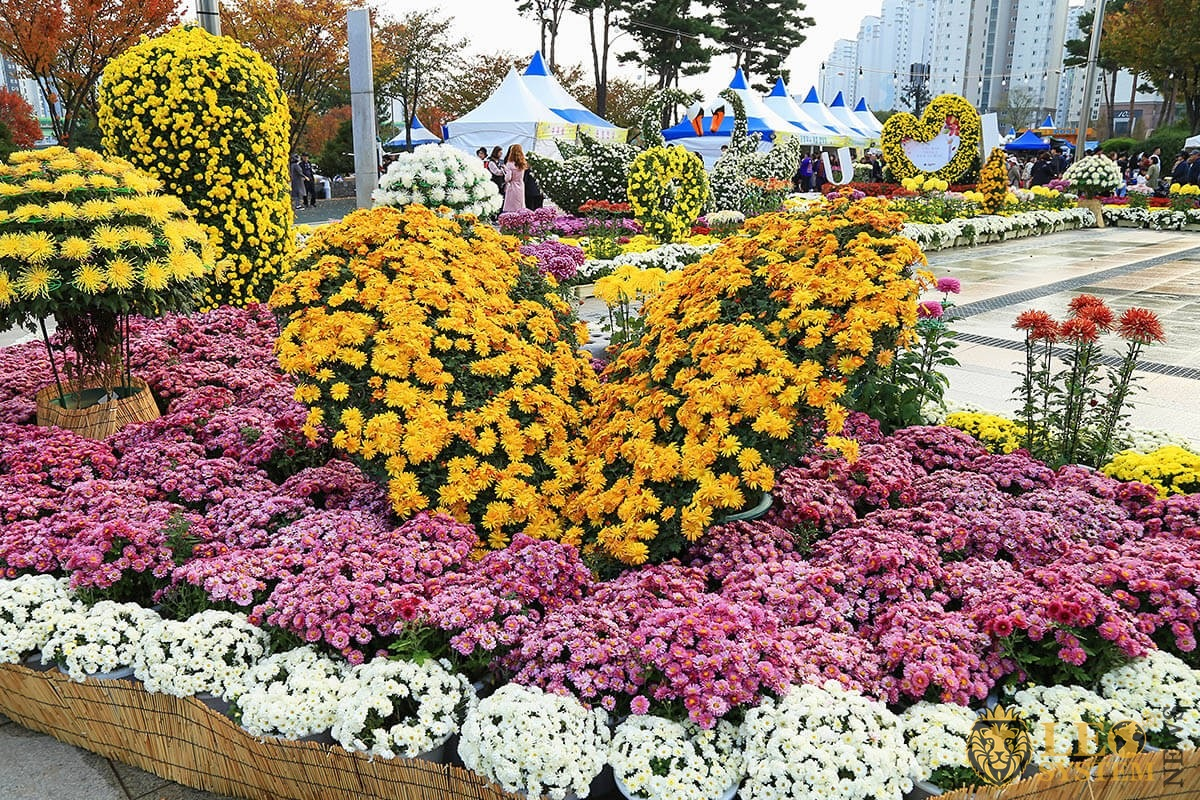 Chrysanthemums festival, South Korea, Yangsan